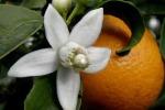 Свадебные традиции: апельсиновые цветы на удачу